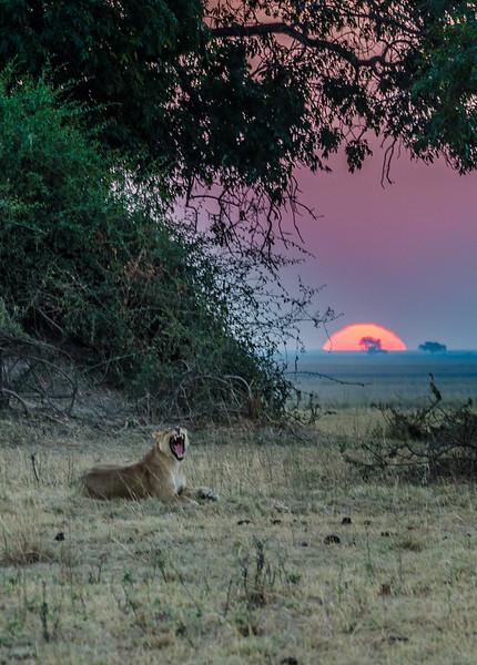 Lioness Chobe Botswana 2