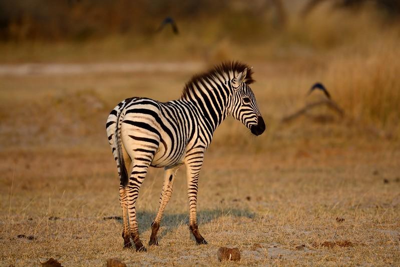 Zebra Moremi 7