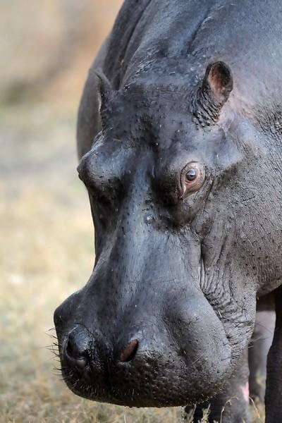 Hippos Moremi 3