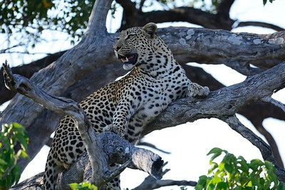 Leopard at kill Moremi 3