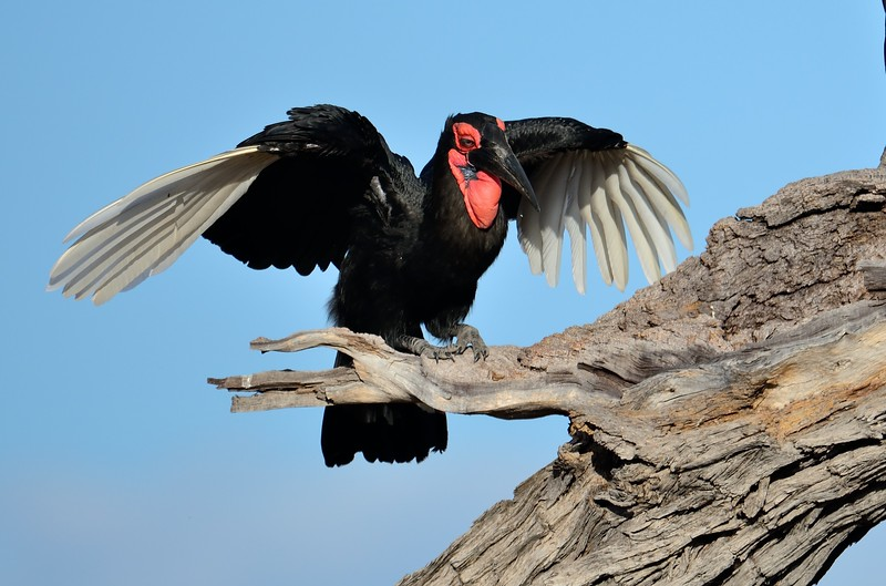 Southern Ground Hornbill Savuti 3