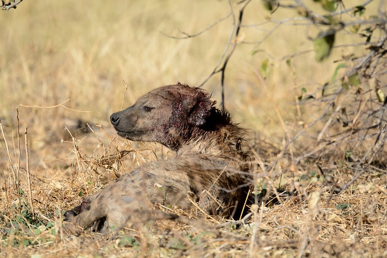 Wounded Spotted Hyena Khwai River 1