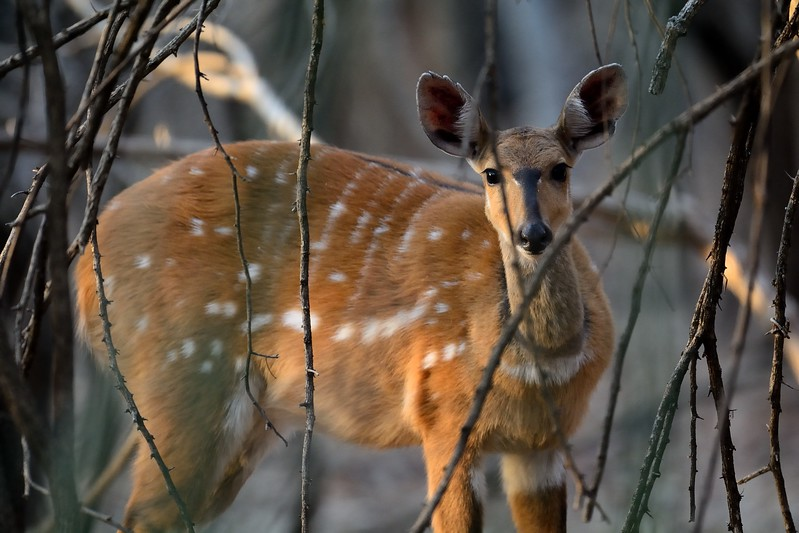Bushbuck Chobe 9