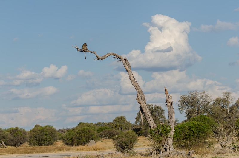 Chacma Baboon Khwai River Botswana 1
