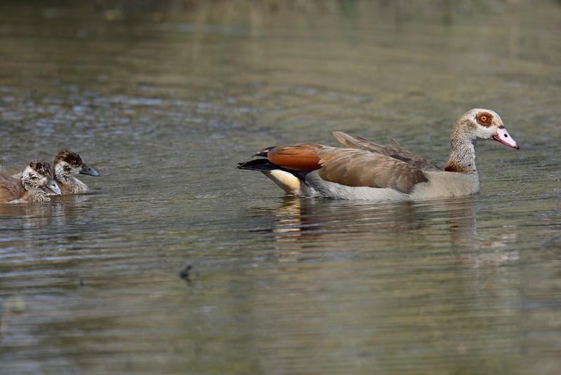 Egyptian Goose Moremi 7