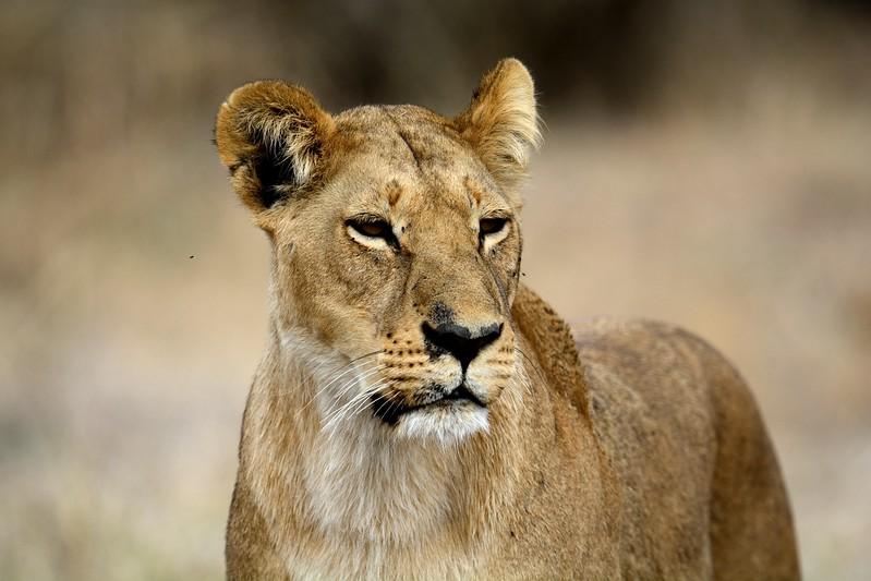 Lion Pride Savuti 107