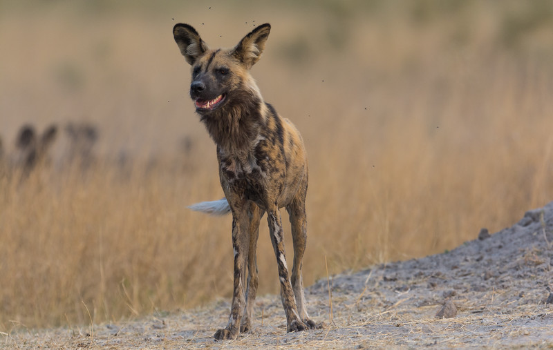 African Wild Dog Moremi Botswana 2