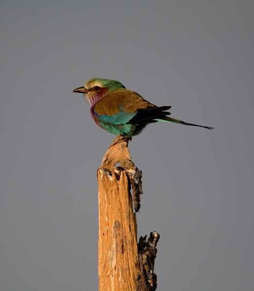 Lilac breasted roller Moremi 4
