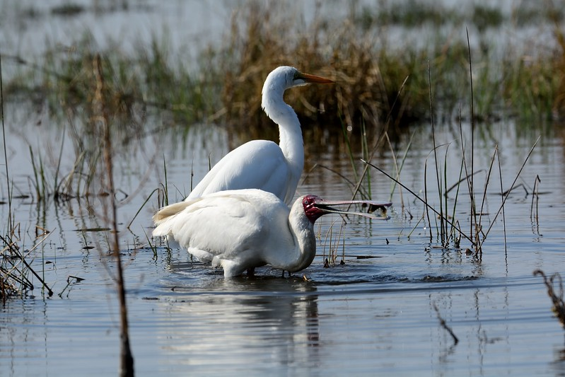 African Spoonbill and Great Egret  Moremi 5a