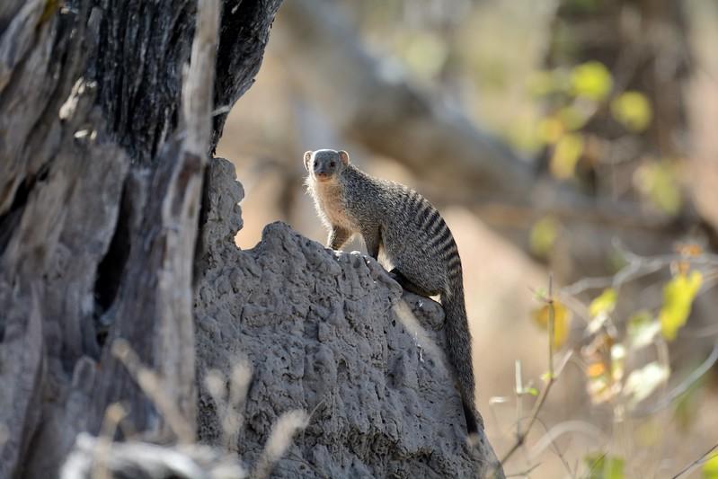 Banded Mongoose Moremi 1