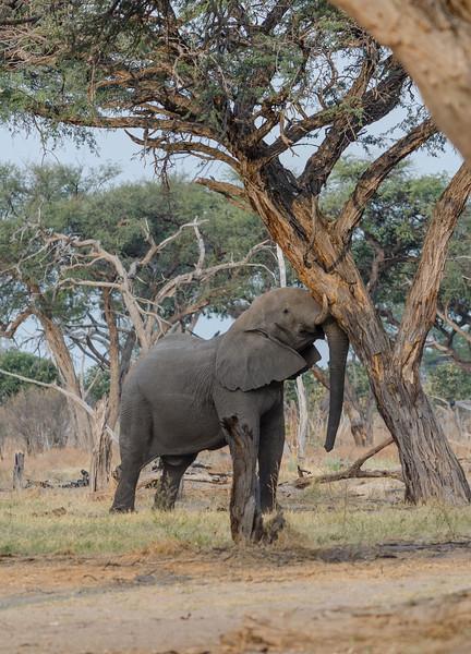 Elephants Khwai River Botswana 16