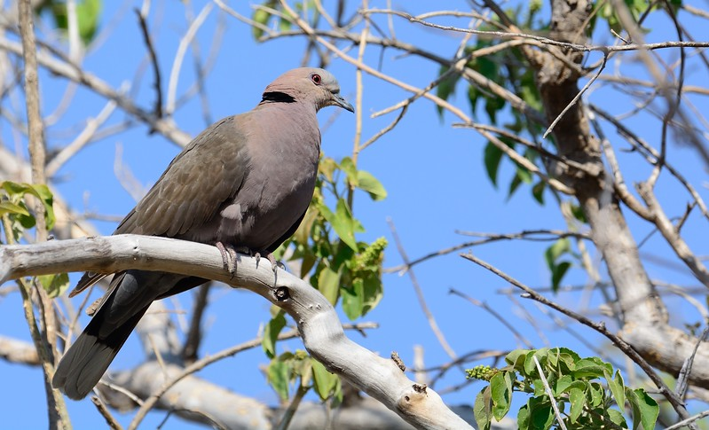 Red-eyed Dove Moremi 1