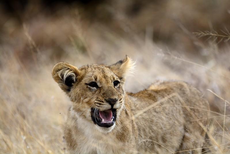 Lion Pride Savuti 95