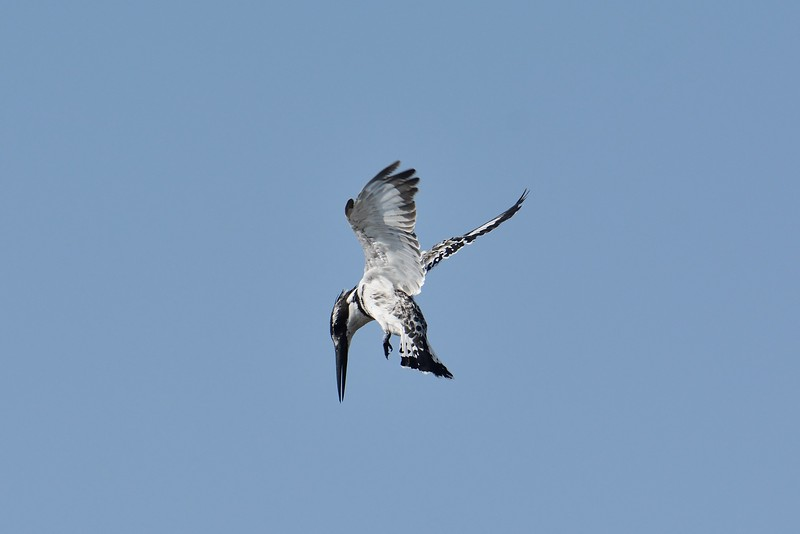 Pied Kingfisher Moremi 2