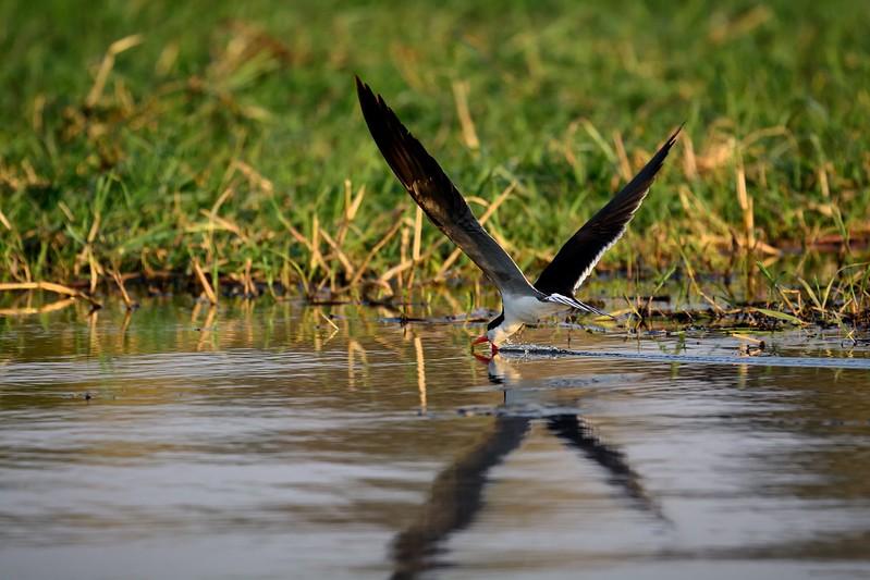African Skimmer Chobe 3