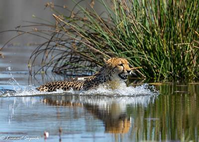 Cheetah Moremi 2619 Sharpen AI (1 of 1)