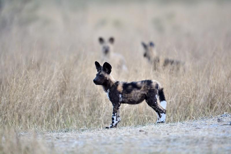 African Wild Dog Moremi 3