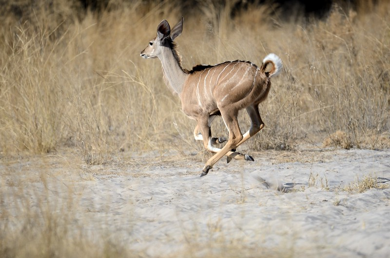 Kudu Moremi 1