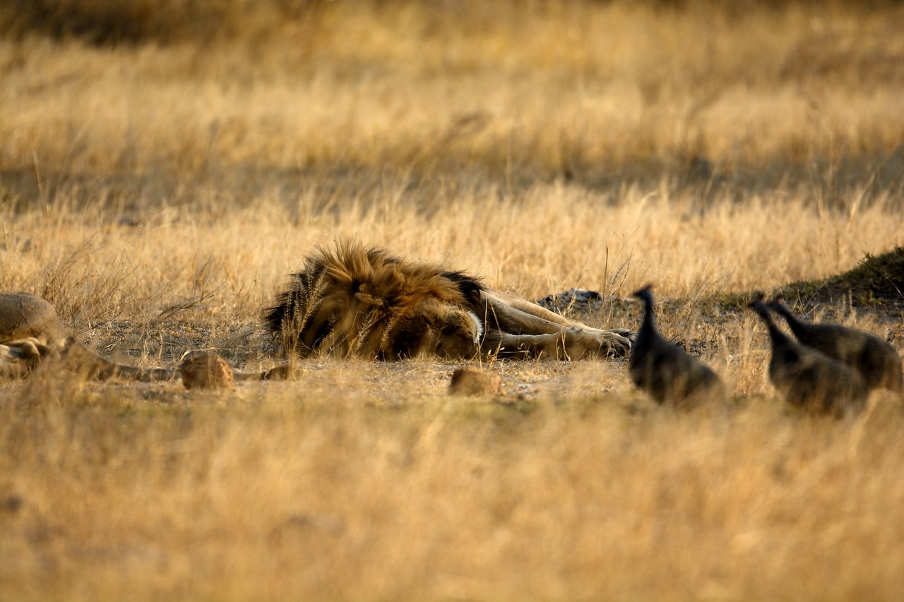 Male lion and Guinea Fowl Moremi 2