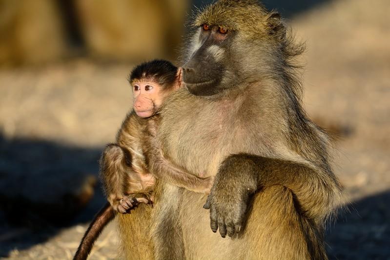 Chacma baboon Chobe 4