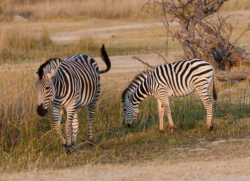 Zebra Moremi Botswana 4