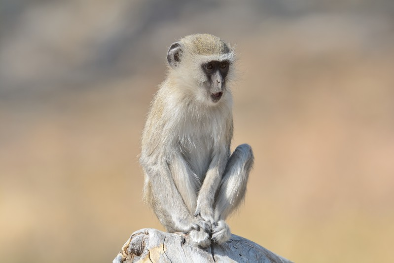 Vervet Monkey Moremi 6