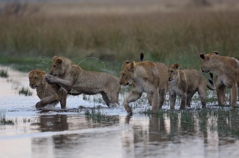 Lion Pride Savuti 15
