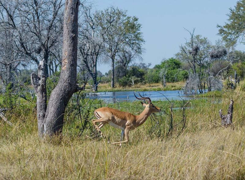 Impala jumoping Botswana Moremi 11