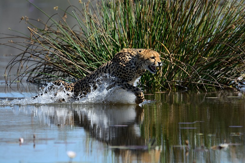 Cheetah Khwai River 7