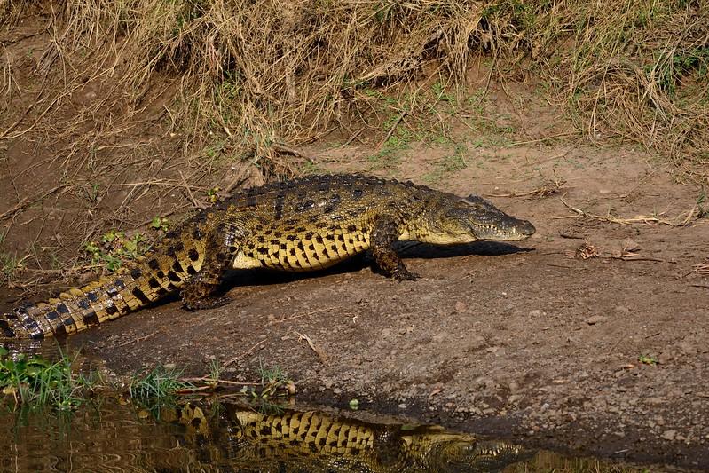 Crocodile Zambia 1