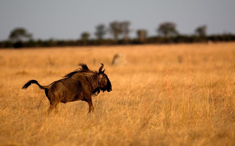 Blue Wildebeest Savuti 1