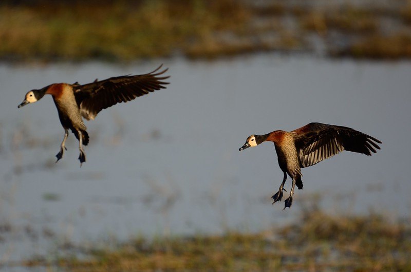 White-faced Whistling Duck Savuti 5