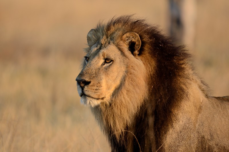 Male lion Moremi 2
