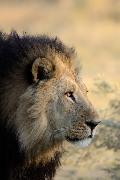Male lion Moremi 13