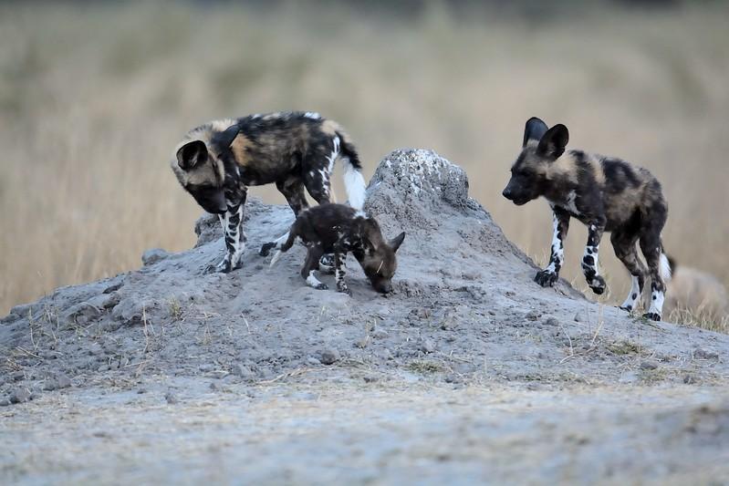African Wild Dog Moremi 8