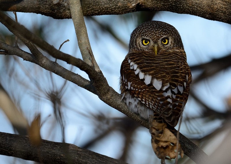 African Barred Owl Khwai River 2