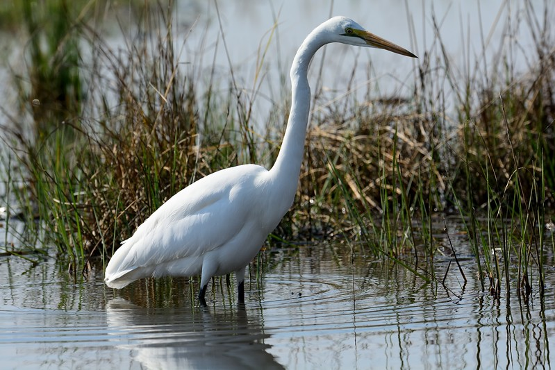 Great Egret Moremi 2