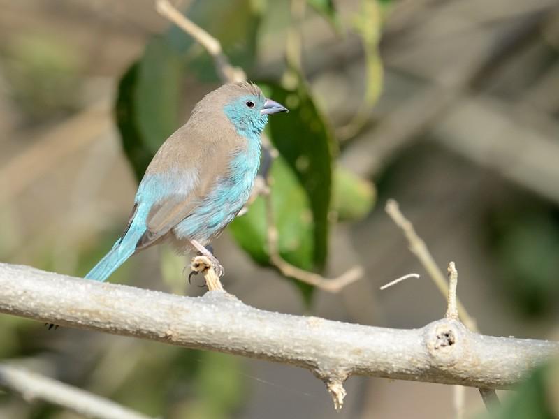 Blue Waxbill Moremi 1