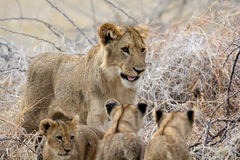 Lion Pride Savuti 120