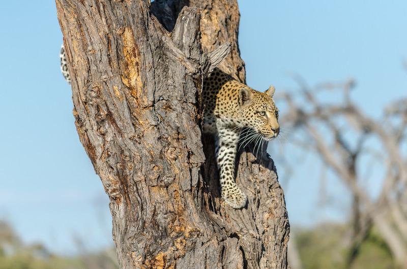Leopard Khwai River Botswana 3