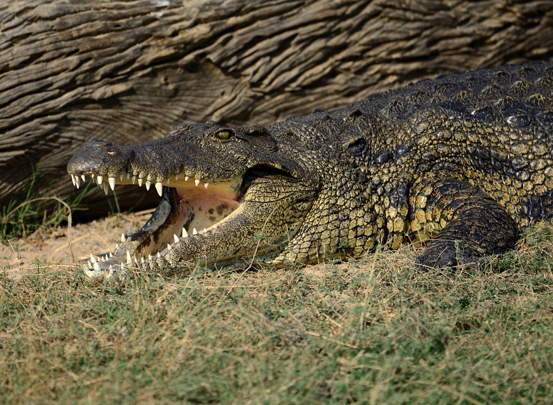 Crocodile Chobe 5