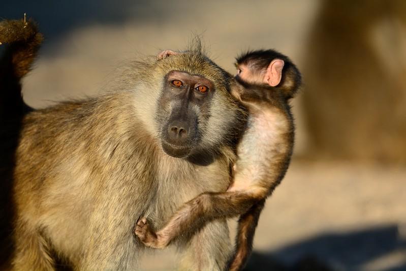 Chacma baboon Chobe 6