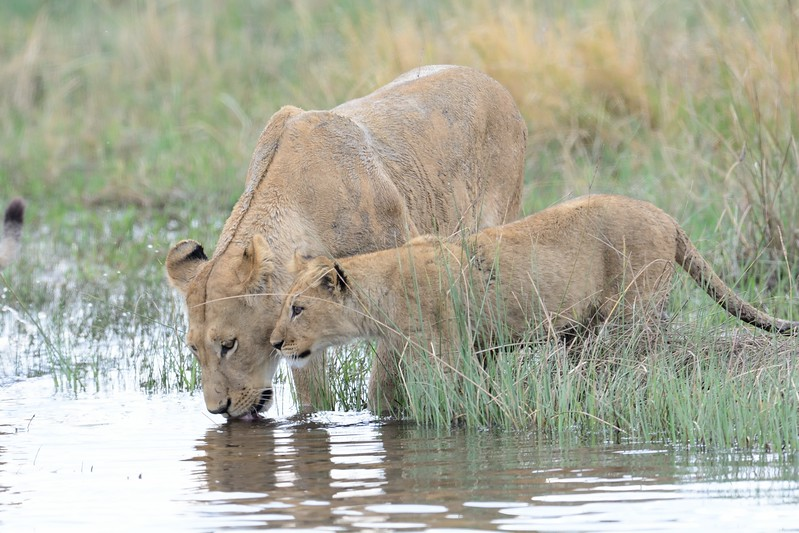 Lion Pride Savuti 50
