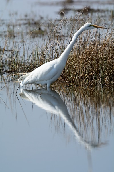 Great Egret Moremi 3