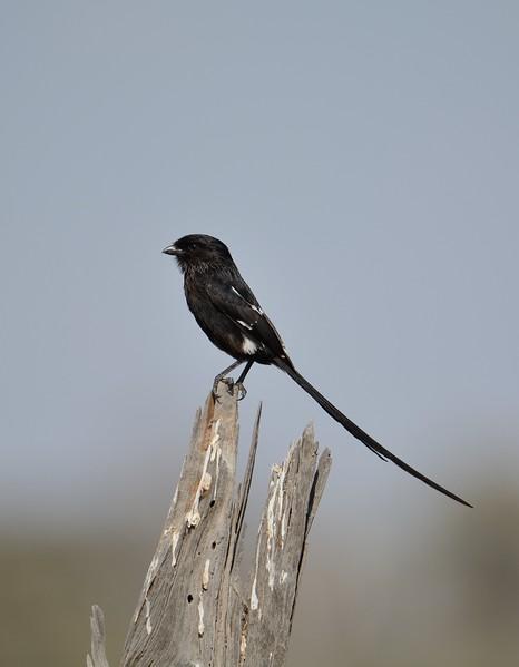 Magpie Shrike Moremi 1