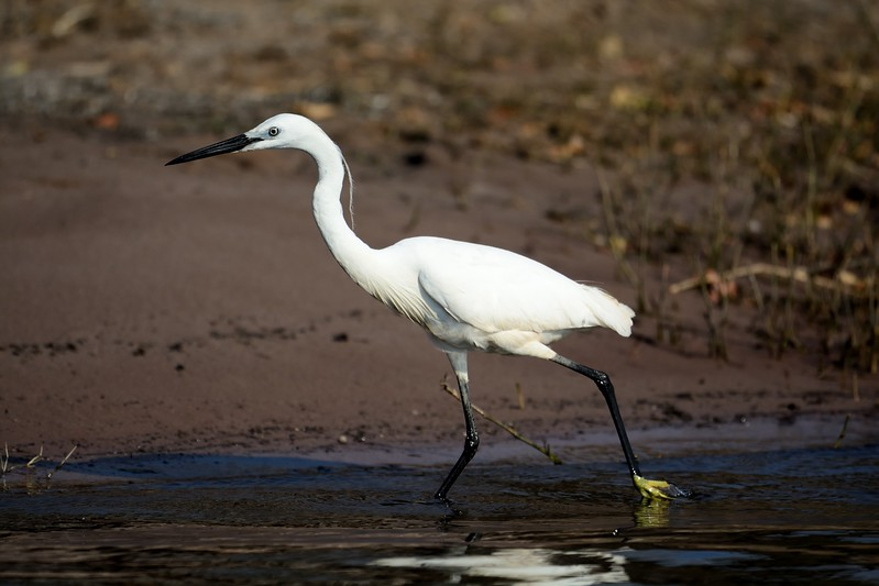 Little Egret Chobe 1