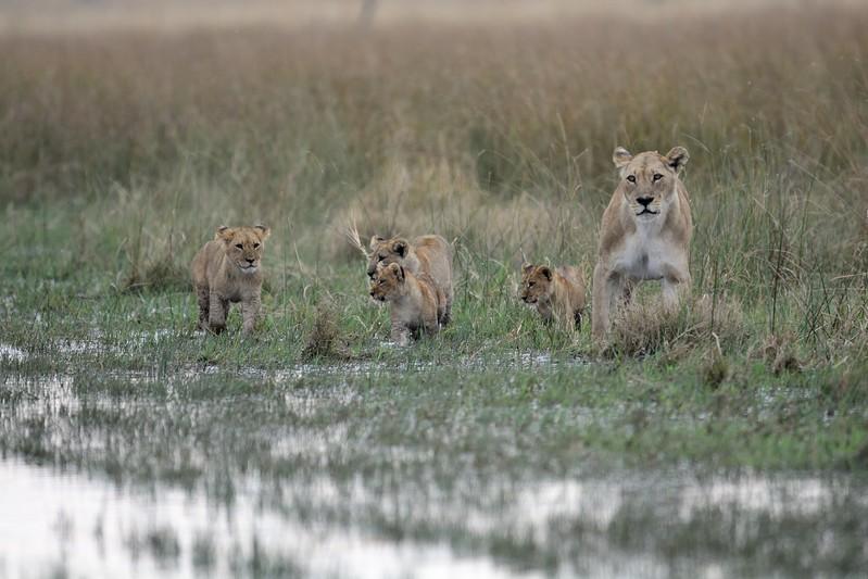 Lion Pride Savuti 14