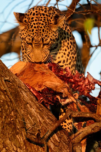 Leopard at kill Moremi 39