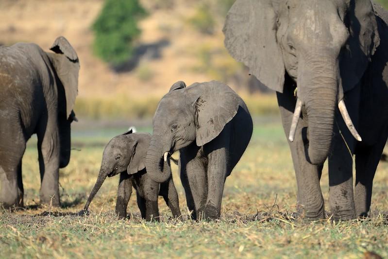 Elephant Chobe 1