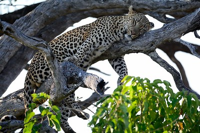 Leopard at kill Moremi 5